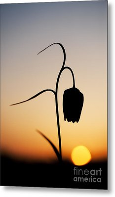 Fritillary Sunset Metal Print