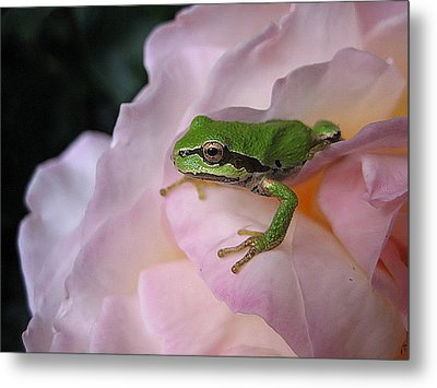 Metal Print featuring the photograph Frog And Rose Photo 3 by Cheryl Hoyle