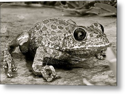 Frog Hair Metal Print by Kim Pippinger