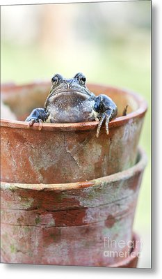 Frog In A Pot Metal Print by Tim Gainey