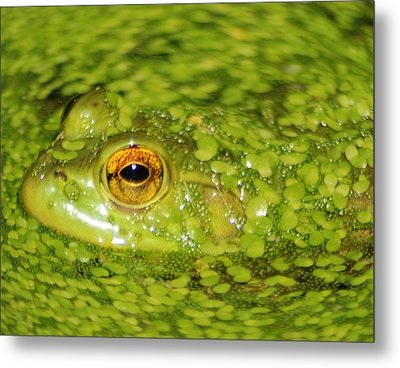 Frog In Single Celled Algae Metal Print by Optical Playground By MP Ray
