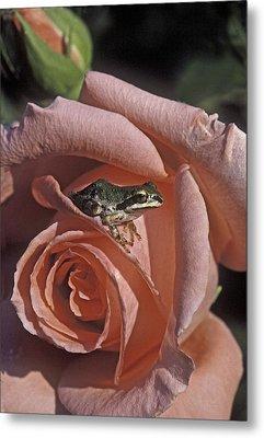 Frog On Rose Metal Print