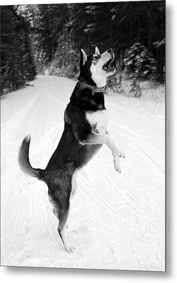 Frolicking In The Snow - Black And White Metal Print by Carol Groenen