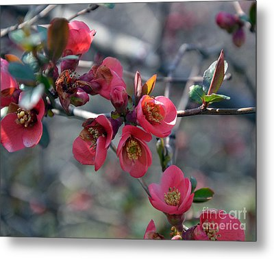 From Quince I Came Metal Print by Brenda Dorman
