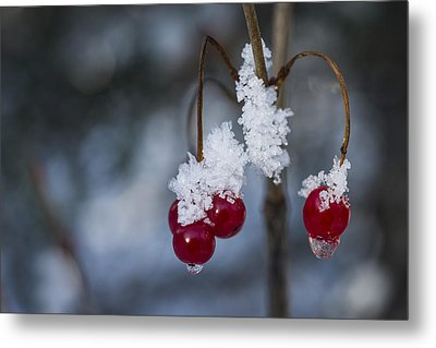 Frost Berries Metal Print by Ted Raynor