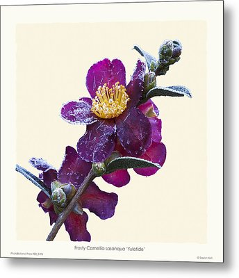 Frost On Camellia Sasanqua 'yuletide' Metal Print by Saxon Holt