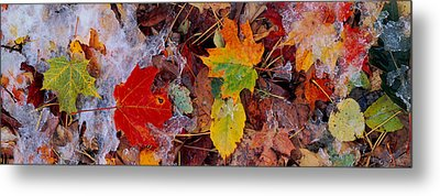Frost On Leaves, Vermont, Usa Metal Print