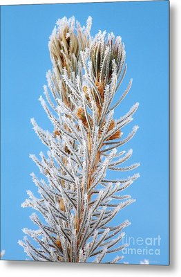 Frosted Blue Spruce Tips Metal Print