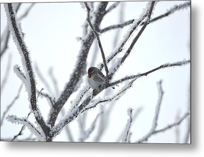Metal Print featuring the photograph Frosted Branches by Dacia Doroff