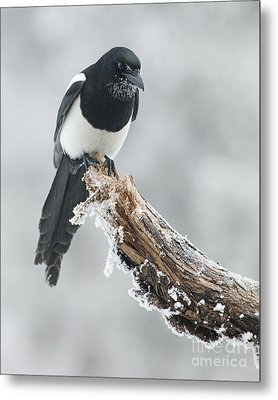 Frosted Magpie Metal Print by Tim Grams
