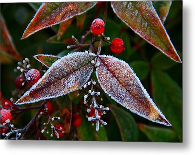 Frosted Nandina Leaves Metal Print by Kathryn Meyer