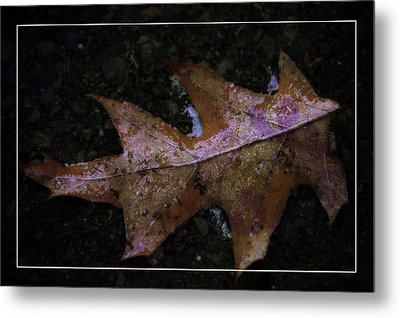 Metal Print featuring the photograph Frosted Oak by Tikvah's Hope