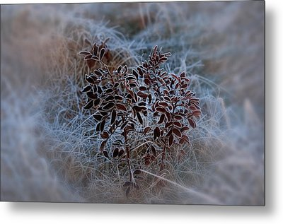 Frosted Rugosa Metal Print by Susan Capuano
