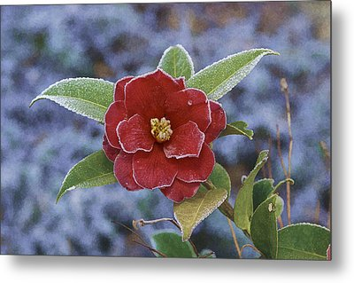 Metal Print featuring the photograph Frosty Camellia by Gregory Scott