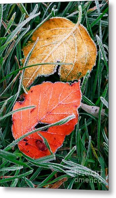 Frosty Leaves Metal Print by Elena Elisseeva