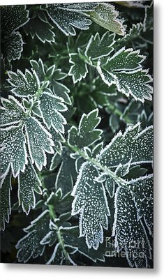 Frosty Leaves In Late Fall Metal Print by Elena Elisseeva