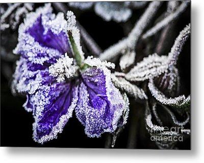 Frosty Purple Flower In Late Fall Metal Print by Elena Elisseeva