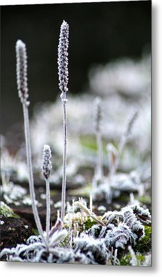 Frosty Weed Metal Print by Karen Grist