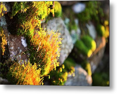 Fruiting Bodies On Moss Metal Print