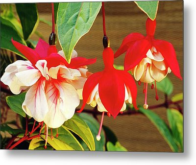 Fuchsia 'golden Swingtime' Metal Print by Archie Young