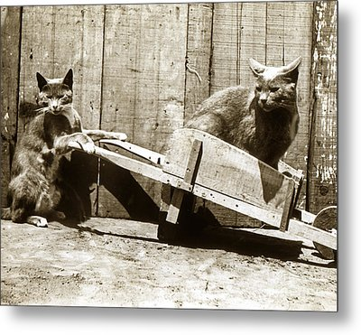 Metal Print featuring the photograph Fun With Cats Henry King Nourse Photographer Circa 1900 by California Views Mr Pat Hathaway Archives
