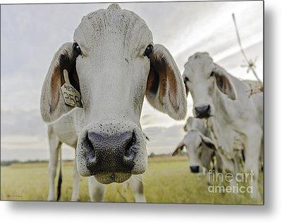 Funny Cows Metal Print by Cindy Bryant