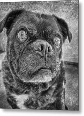 Funny Pug Metal Print by Larry Marshall