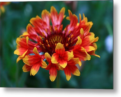 Metal Print featuring the photograph Gaillardia Flower by Keith Hawley