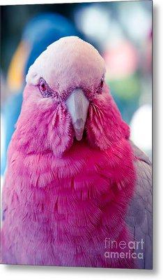 Galah - Eolophus Roseicapilla - Pink And Grey - Roseate Cockatoo Maui Hawaii Metal Print by Sharon Mau