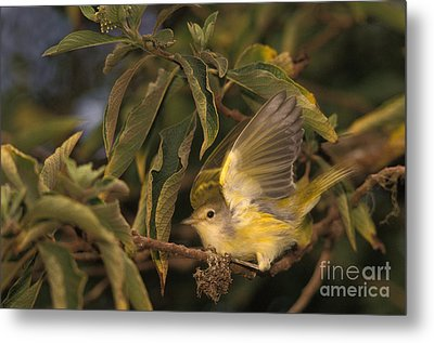 Galapagos Flycatcher Metal Print by Ron Sanford