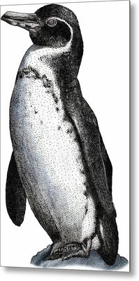 Galapagos Penguin Metal Print by Roger Hall