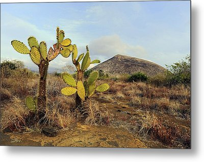Galapagos Prickly Pear (opuntia Echios) Metal Print by Science Photo Library
