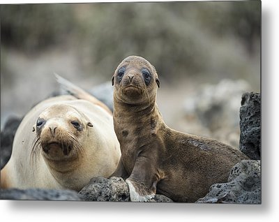 Galapagos Sea Lion And Pup Champion Metal Print by Tui De Roy