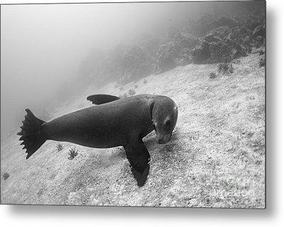 Galapagos Sea Lion Underwater Metal Print by Sami Sarkis