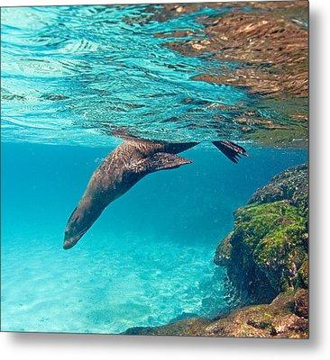 Galapagos Sea Lion Zalophus Wollebaeki Metal Print by Panoramic Images