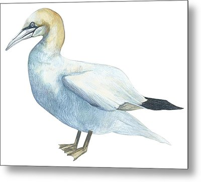 Gannet  Metal Print by Anonymous