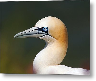 Metal Print featuring the photograph Gannet by Paul Scoullar