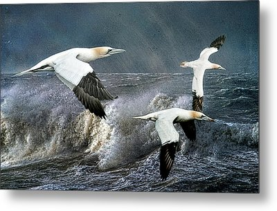 Metal Print featuring the photograph Gannets Skimming The Waves by Brian Tarr