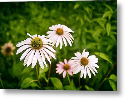 Garden Dasies Metal Print by Tom Mc Nemar