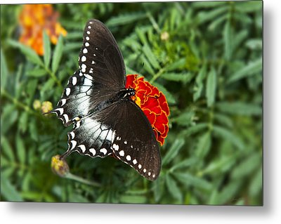 Garden Spice Butterfly Metal Print by Christina Rollo