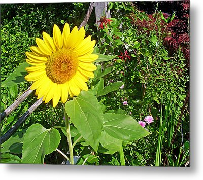 Garden Sunflower Metal Print by Aimee L Maher Photography and Art Visit ALMGallerydotcom