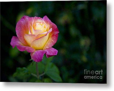 Garden Tea Rose Metal Print by David Millenheft