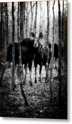 Gathering Of Moose Metal Print by Bob Orsillo