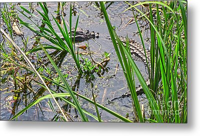 Gator Baby 2 Metal Print by D Wallace