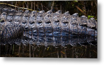 Gator Reflection Metal Print by Adam Pender