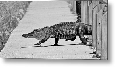 Gator Walking Metal Print