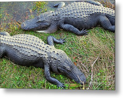 Gators Metal Print