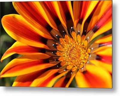 Metal Print featuring the photograph Gazania Glory by Richard Stephen
