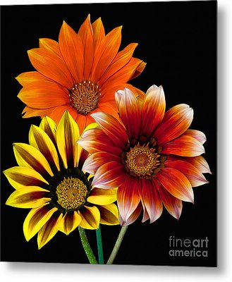 Metal Print featuring the photograph Gazania Variety by Shirley Mangini