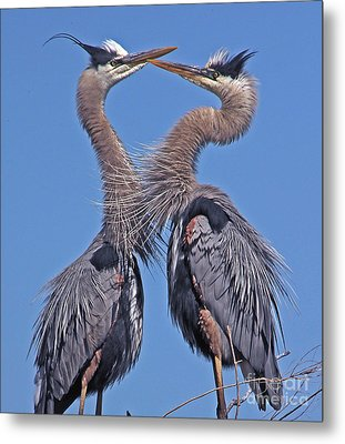 Great Blue Heron The Face Off Metal Print by Larry Nieland
